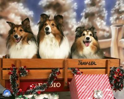 Shelties in Christmas wagon