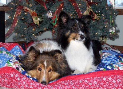 Shelties on bed under Christmas tree