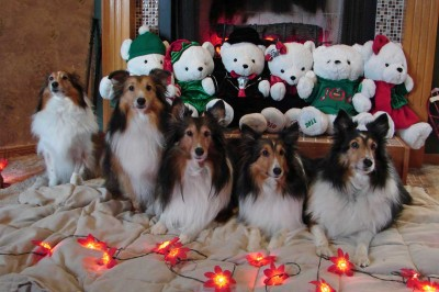 Shelties at holidays