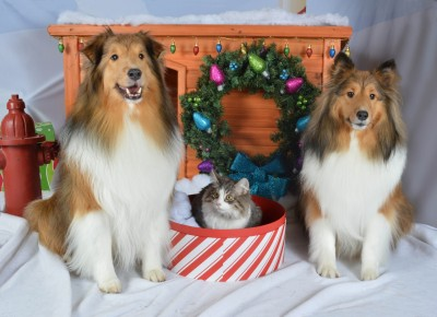 Shelties in Christmas photo
