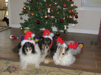Shelties in front of Christmas tree