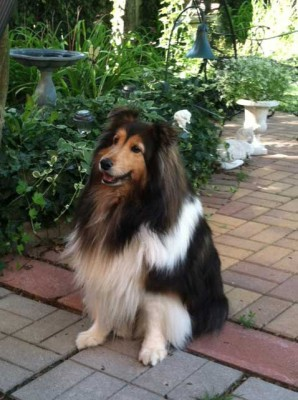 Sheltie in garden
