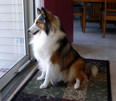 Sheltie looking out front door