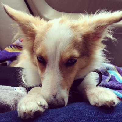 Sheltie with big ears