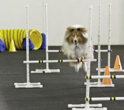 Sheltie jumping agility poles