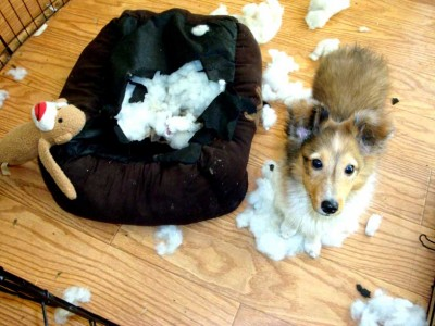 Sheltie puppy and sock monkey