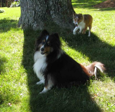 Shelties playing in grass