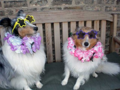 Shelties in sunglasses