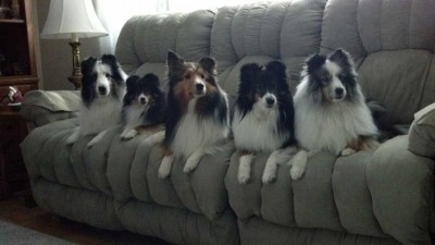 Five Shelties on a couch