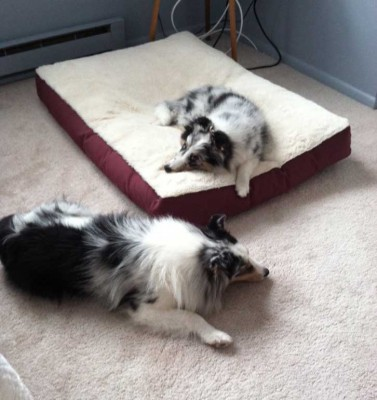 Shelties sleeping on dog bed