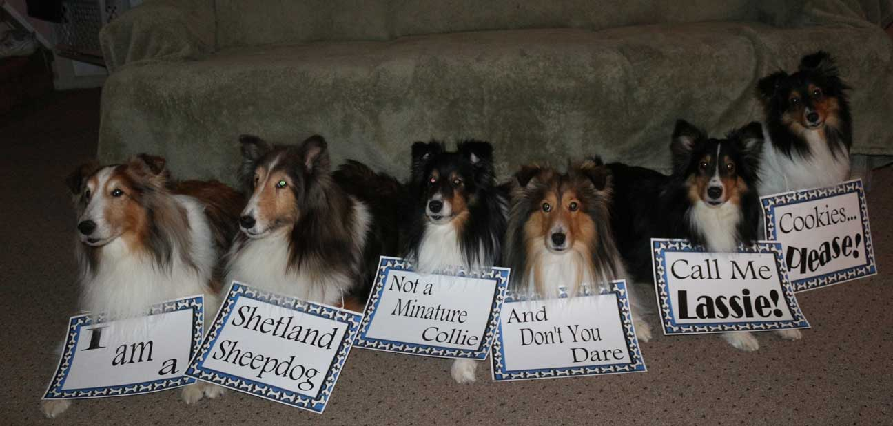 Sheltie Nation These Shelties Have Something To Say