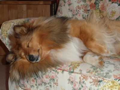 Shetland Sheepdog sleeping on couch