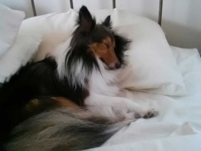 Shetland Sheepdog using pillow