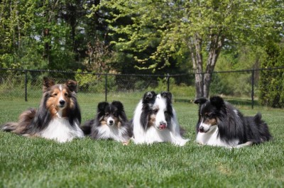 4shelties