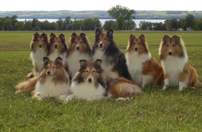 8shelties