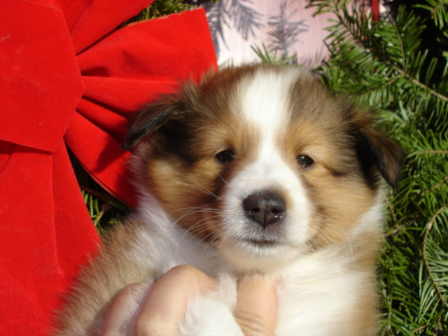 Sheltie Nation On Christmas All You