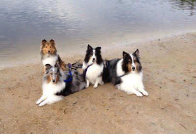 Shelties by water