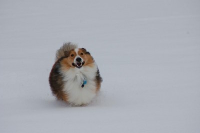 sheltie running in snow