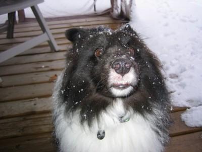 Sheltie snowflakes