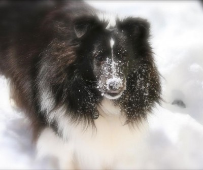Bi-black Sheltie in snow