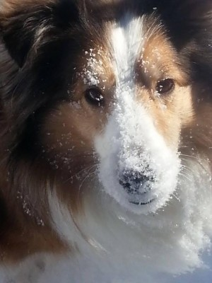 sheltie snow on nose