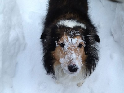 Sheltie snow