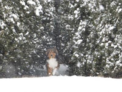 blizzardsheltie