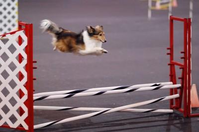 jumpingsheltie