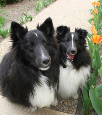 sheltietulips