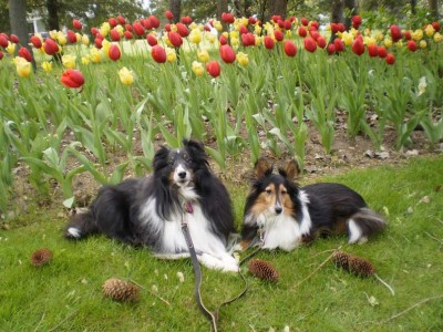 tulipshelties