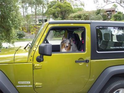 jeepsheltie