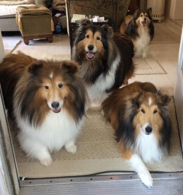 4sheltiespose