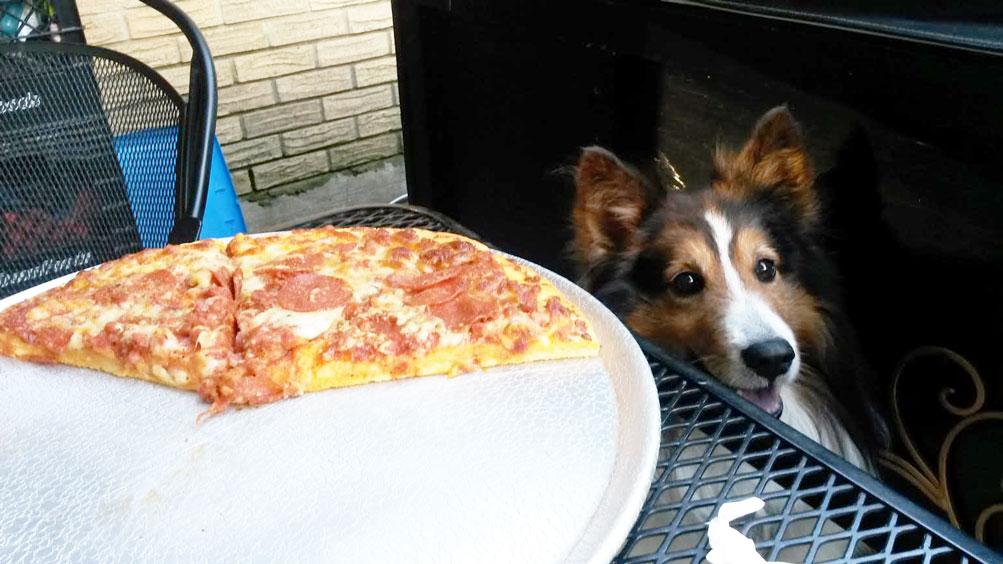Resultado de imagen para sheltie pizza