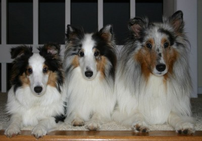 3shelties