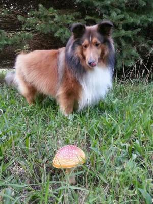 Sheltie mushroom