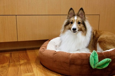 sheltie in dog bed