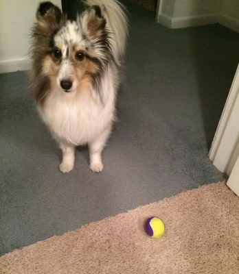 sheltie and tennis ball