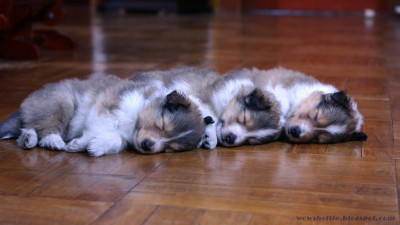 3packpuppies