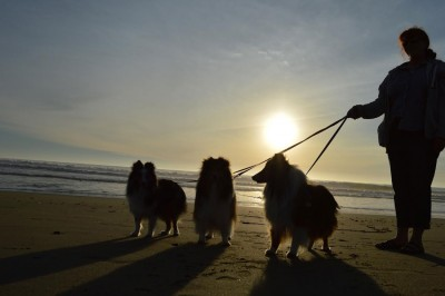 sheltiesunset