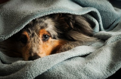 blanketsheltie