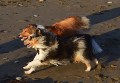 runningshelties