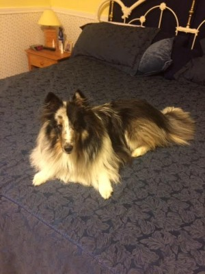 blue-sheltie-on-bed