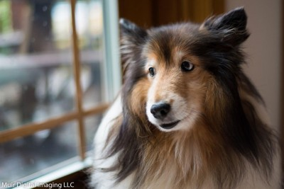 dutchess-look-outside-sheltie