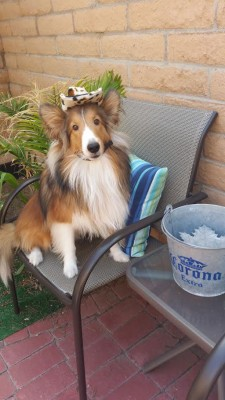 sheltie-in-hat