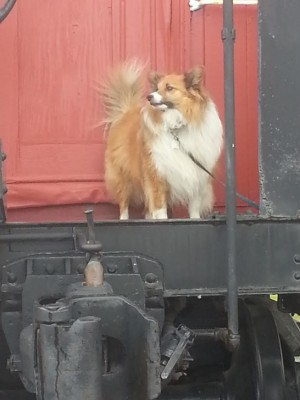 sheltie-on-train