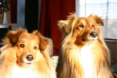 shelties-in-sun