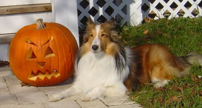 cj-sheltie-pumpkin