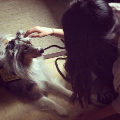 gracie-petted-sheltie