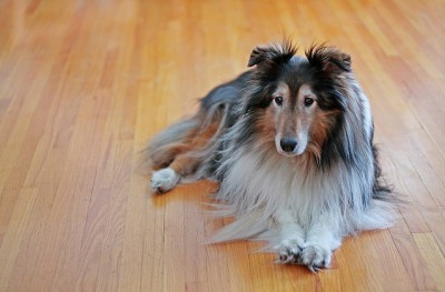 holly-sheltie-floor