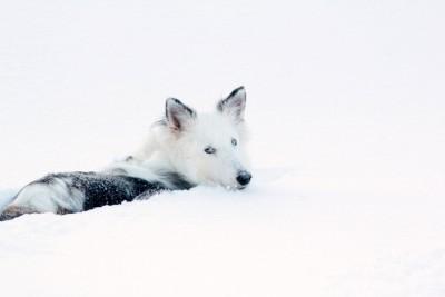 jessie-snow-sheltie